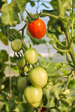 Στην ντομάτα θερμοκηπίων, γεωργία Στοκ Εικόνες