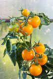 Στην ντομάτα θερμοκηπίων, γεωργία Στοκ φωτογραφίες με δικαίωμα ελεύθερης χρήσης