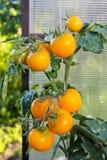 Στην ντομάτα θερμοκηπίων, γεωργία Στοκ φωτογραφία με δικαίωμα ελεύθερης χρήσης