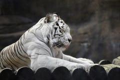 Στηργμένος άσπρη τίγρη Στοκ φωτογραφίες με δικαίωμα ελεύθερης χρήσης