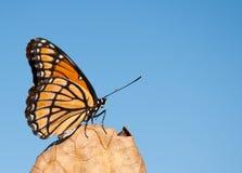 στηργμένος αντιβασιλέας φύλλων πεταλούδων ξηρός Στοκ Φωτογραφία
