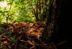 Στηργμένος βελόνες Redwood στοκ φωτογραφίες με δικαίωμα ελεύθερης χρήσης