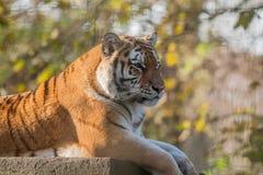 Στηργμένος ινδική τίγρη Στοκ Εικόνες