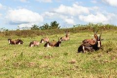 Στηργμένος καλοκαίρι κοπαδιών Buck άγριας φύσης Στοκ Εικόνες