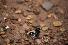 Στηργμένος μονάρχης πεταλούδων Στοκ Εικόνες