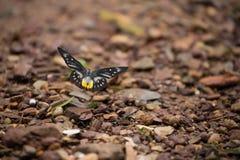 Στηργμένος μονάρχης πεταλούδων Στοκ φωτογραφία με δικαίωμα ελεύθερης χρήσης