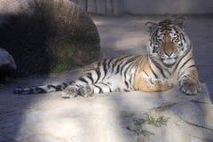 Στηργμένος νέα τίγρη Amur, altaica Panthera Τίγρης Στοκ φωτογραφία με δικαίωμα ελεύθερης χρήσης