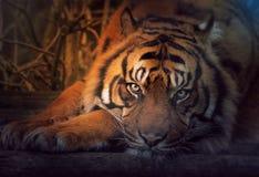 Στηργμένος σιβηρική τίγρη Στοκ Εικόνα