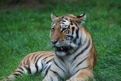 στηργμένος τίγρη πεδίων Στοκ φωτογραφίες με δικαίωμα ελεύθερης χρήσης