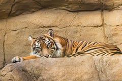 Στηργμένος τίγρη στο ζωολογικό κήπο του Λονδίνου Στοκ Φωτογραφίες