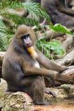 Στηργμένος baboon συνεδρίαση σε έναν βράχο και ενυδάτωση των ποδιών σας στο νερό Στοκ Φωτογραφίες