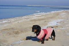 Στη θάλασσα της Βαλτικής με ένα dachshund Στοκ Φωτογραφία
