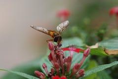 Στη μέλισσα μελιού λουλουδιών Στοκ φωτογραφία με δικαίωμα ελεύθερης χρήσης