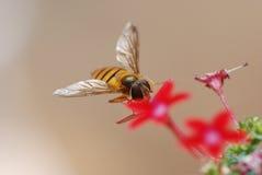 Στη μέλισσα μελιού λουλουδιών Στοκ Φωτογραφία
