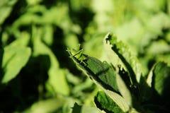 Στη χλόη που κάθεται grasshopper στοκ φωτογραφίες με δικαίωμα ελεύθερης χρήσης
