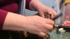 Στιλίστας που κτενίζει το παλτό του Μαίην Coon, γάτα υπομονετικά που βρίσκεται στον πίνακα, σαλόνι καλλωπισμού φιλμ μικρού μήκους