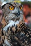 Στιλβωμένη ευρασιατική αετός-κουκουβάγια, θέμα πουλιών Στοκ φωτογραφίες με δικαίωμα ελεύθερης χρήσης