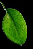 στιλπνό πράσινο φύλλο Στοκ Εικόνα