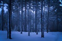 Στις αρχές χειμερινού πρωινού σε ένα δάσος πεύκων Στοκ εικόνες με δικαίωμα ελεύθερης χρήσης