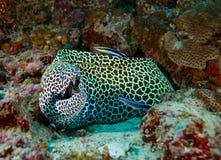 Στις Μαλδίβες είναι ένα όμορφο υποβρύχιο σχέδιο λεοπαρδάλεων ψαριών, Θεός που δημιουργείται όμορφος Στοκ φωτογραφία με δικαίωμα ελεύθερης χρήσης