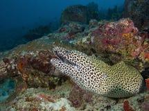 Στις Μαλδίβες είναι ένα όμορφο υποβρύχιο σχέδιο λεοπαρδάλεων ψαριών, Θεός που δημιουργείται όμορφος Στοκ εικόνα με δικαίωμα ελεύθερης χρήσης
