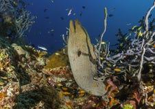 Στις Μαλδίβες, το ψάρι που έχει κυνηγήσει μέσω των κοραλλιών στο νερό, Στοκ εικόνες με δικαίωμα ελεύθερης χρήσης