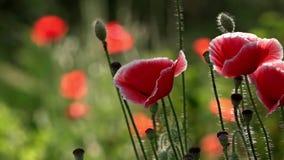Στις παπαρούνες ανθών κήπων «Παπαρούνα πορφυρό, ρόδινο, κόκκινο, διαφορετικό †απόθεμα βίντεο