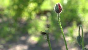 Στις παπαρούνες ανθών κήπων Στο φως του ήλιου, μια όμορφη δημιουργία φιλμ μικρού μήκους
