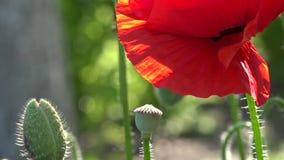 Στις παπαρούνες ανθών κήπων Στο φως του ήλιου, μια όμορφη δημιουργία απόθεμα βίντεο
