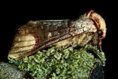 Στιλβωμένος-άκρη (bucephala Phalera) Στοκ φωτογραφία με δικαίωμα ελεύθερης χρήσης