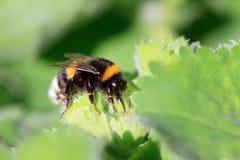 Στιλβωμένος-παρακολουθημένο bumblebee Στοκ φωτογραφίες με δικαίωμα ελεύθερης χρήσης