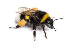 Στιλβωμένος-παρακολουθημένο bumblebee, terrestris Bombus, που απομονώνονται Στοκ Φωτογραφία