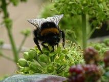 Στιλβωμένο παρακολουθημένο bumblebee στοκ φωτογραφίες