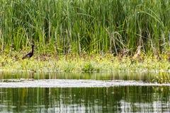 Στιλπνοί θρεσκιόρνιθα και ερωδιός squacco Στοκ εικόνα με δικαίωμα ελεύθερης χρήσης