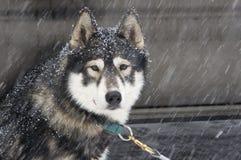 στοιχείο σκυλιών το έλκ&eta Στοκ Εικόνες