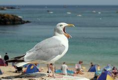 στοματικό ανοικτή έξω seagull κο Στοκ Εικόνες