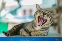Στοματικό σύνολο χασμουρητού γατών Στοκ Εικόνες