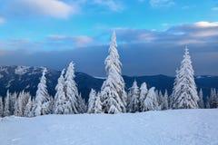 Στον ευρύ χορτοτάπητα υπάρχουν πολλά δέντρα έλατου που στέκονται κάτω από το χιόνι την παγωμένη χειμερινή ημέρα Στοκ Φωτογραφία