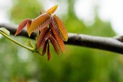Στον κλάδο του ξύλου καρυδιάς ο πρώτος φεύγει του ανοικτό καφέ χρώματος ανθίστηκε Στα φύλλα, η μικρή γύρη είναι ορατή Στοκ Εικόνα