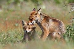 Στοργικές αλεπούδες Στοκ φωτογραφίες με δικαίωμα ελεύθερης χρήσης