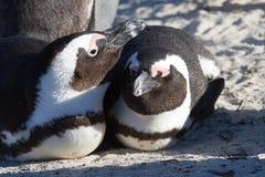Στοργικό Penguins στοκ φωτογραφία