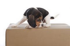 στούντιο κουταβιών σκυ&lamb Στοκ Φωτογραφίες
