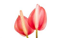 Στούντιο που βλασταίνεται του κόκκινων Anthurium λουλουδιού και του ανθήρα 3 Στοκ φωτογραφίες με δικαίωμα ελεύθερης χρήσης