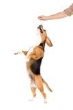 Στούντιο που πυροβολείται του σκυλιού λαγωνικών που πηδά επάνω στοκ εικόνα