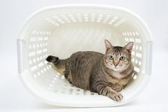 Παχιά ταϊλανδική γάτα μέσα στο καλάθι Στοκ φωτογραφία με δικαίωμα ελεύθερης χρήσης
