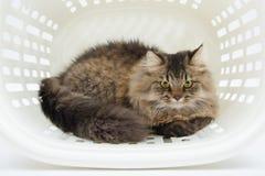 Περσική γάτα μέσα στο καλάθι Στοκ εικόνα με δικαίωμα ελεύθερης χρήσης