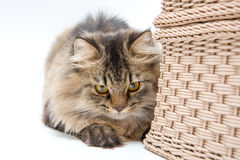 Περσική γάτα πίσω από το καλάθι Στοκ Φωτογραφίες