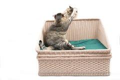 Παχύ ταϊλανδικό παιχνίδι γατών με την περσική γάτα στο κρεβάτι Στοκ φωτογραφία με δικαίωμα ελεύθερης χρήσης