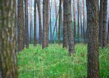Στο δάσος πεύκων μεταξύ της πρασινάδας στοκ εικόνες
