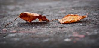 Στο έδαφος υπάρχουν δύο ξεραίνουν τα φύλλα που πέφτουν από το tree_ Στοκ φωτογραφία με δικαίωμα ελεύθερης χρήσης